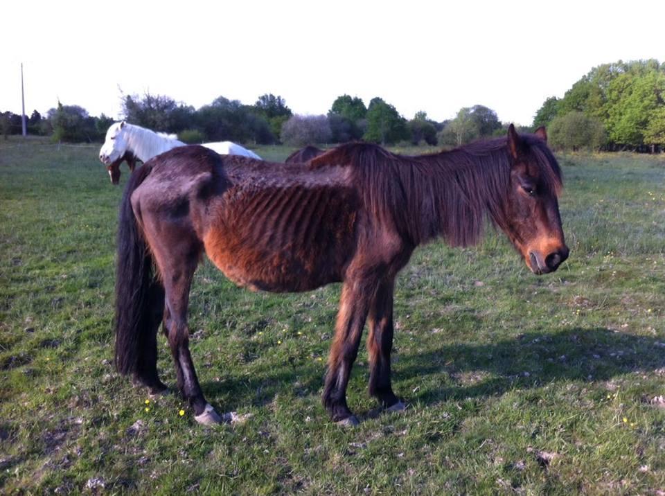 L'association Cheval Espoir 33 récupère régulièrement des chevaux maltraités.