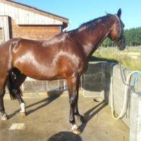 Doucher le cheval est un très bon moyen de le rafraîchir, en cas de fortes températures, elle peut être renouvelée plusieurs fois par jour.