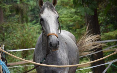 bouchon-oesophagien-cheval