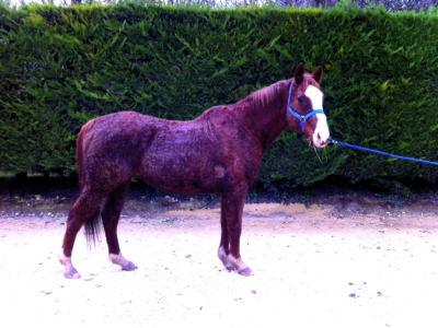 cushing-cheval