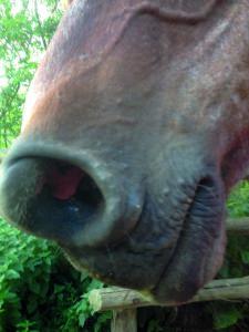 emphyseme-cheval