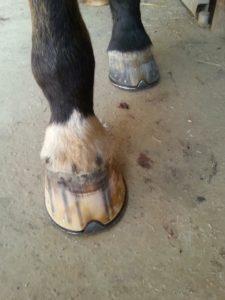 ferrure-cheval