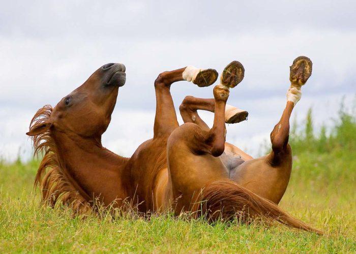 La gale de boue chez le cheval
