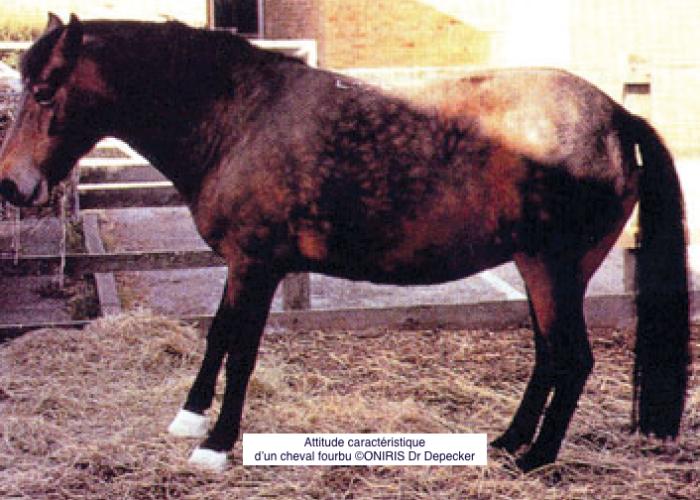 fourbure-du-cheval