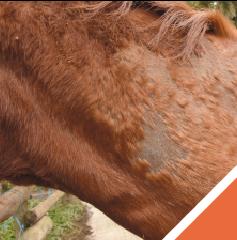 dermatophilose-du-cheval