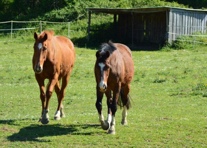 coproscopie-cheval
