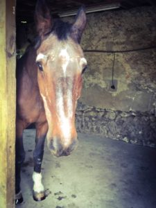 cheval-senior