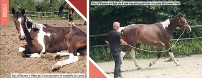 maladie-de-lyme-cheval