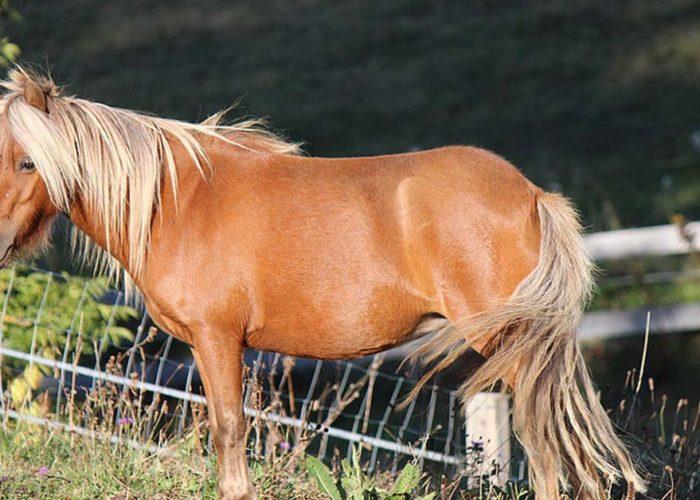 cheval-miniature-elevage