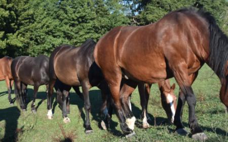 distri-horse-33