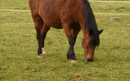 herbe et fourbure chez le cheval