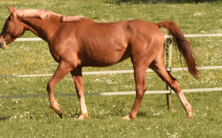 Le ténia chez le cheval