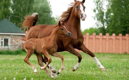 maladie ocd cheval
