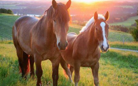 Des chevaux heureux dans les prés