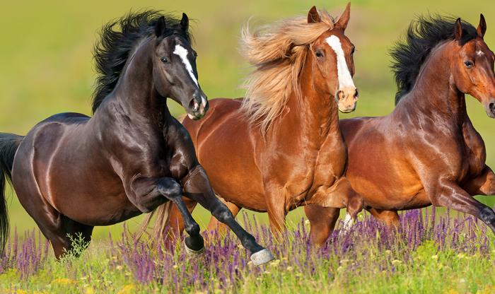 De magnifiques chevaux au galop