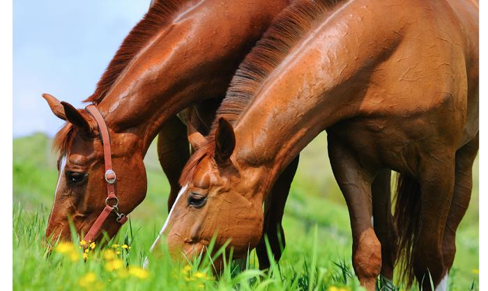 Bien nourrir nos chevaux