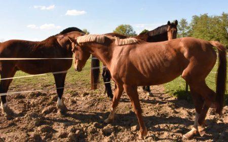 Le cheval maigre