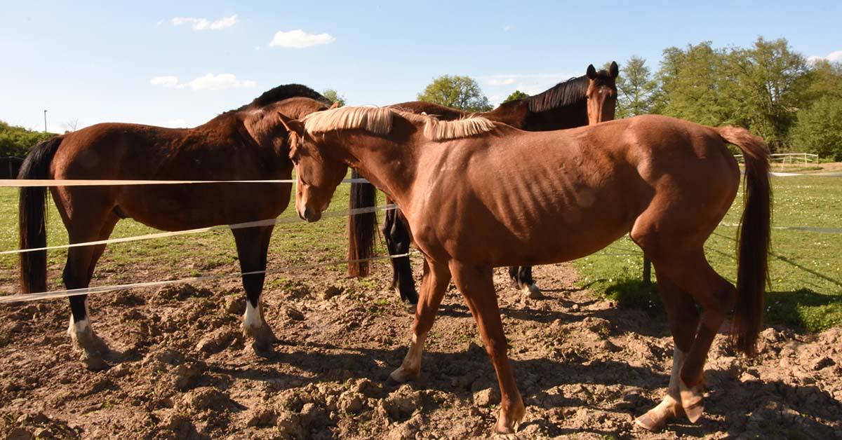 cheval-maigre