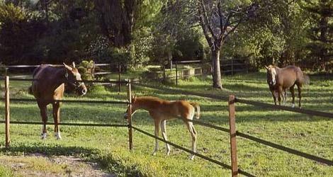 La sangliere et les clôtures des chevaux