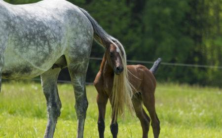 Le poulain et sa mère