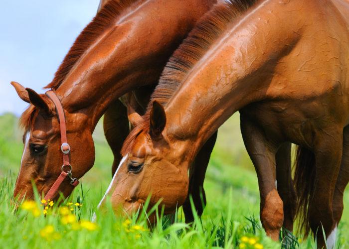 La vermifugation des chevaux au printemps