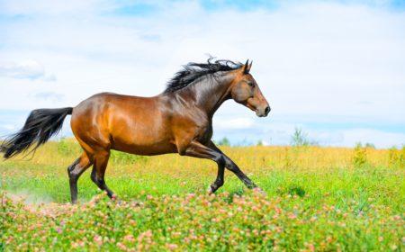 La thérapie cellulaire chez le cheval