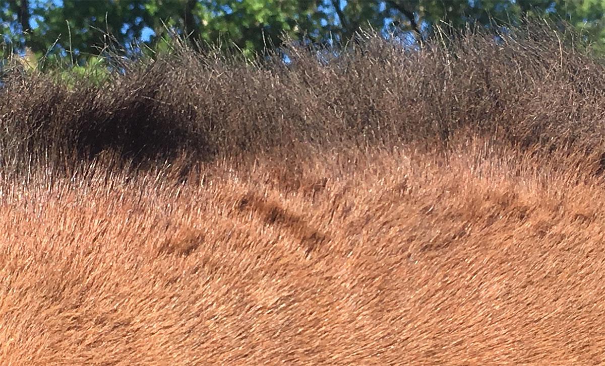 La crinière du cheval appauvrie liée aux démangeaisons