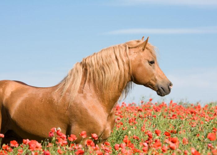 le drainage chez le cheval