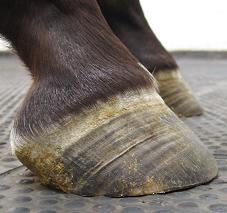Le pied du cheval souffrant de fourbure