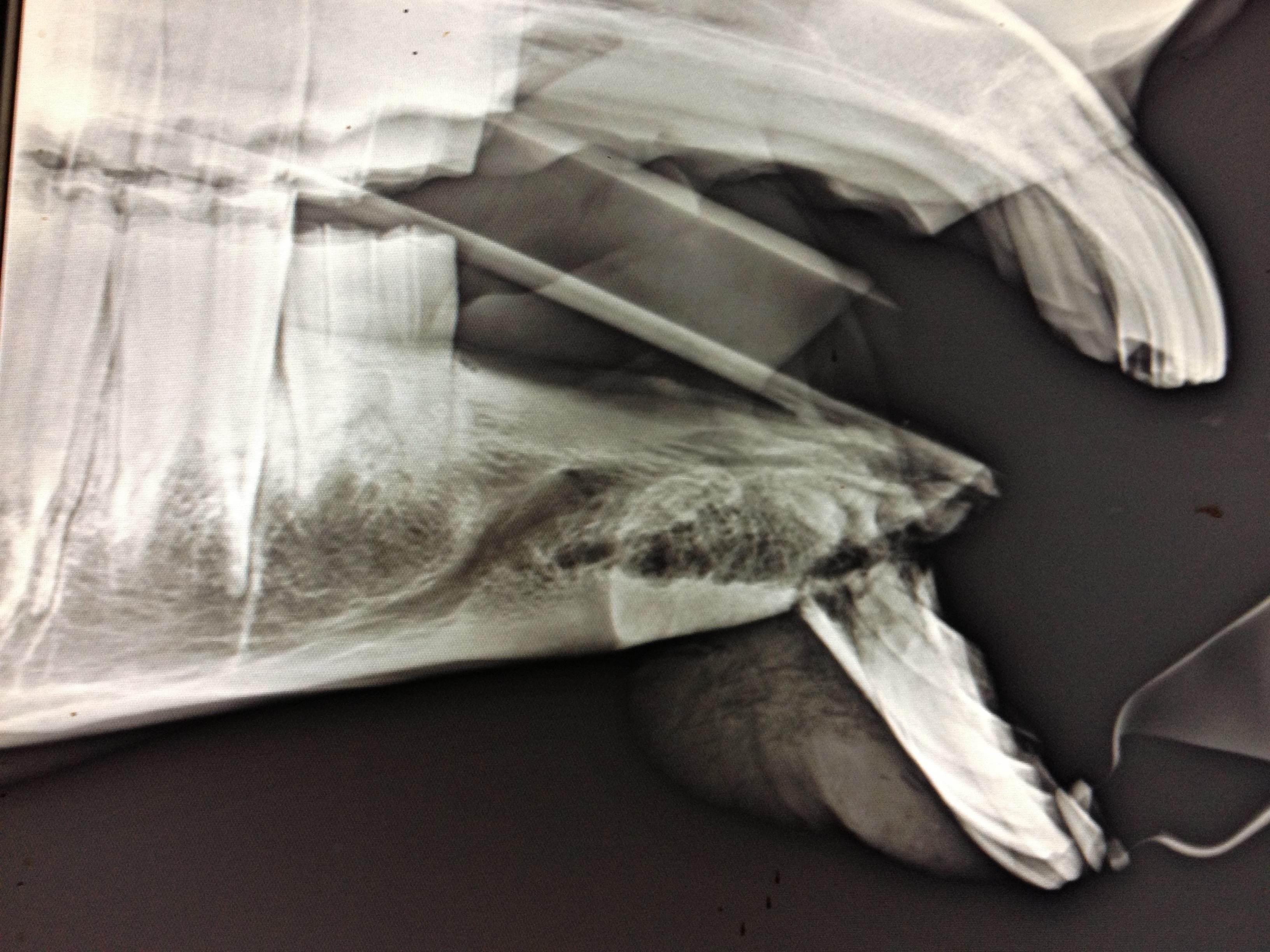 Les informations techniques de la fracture chez le cheval