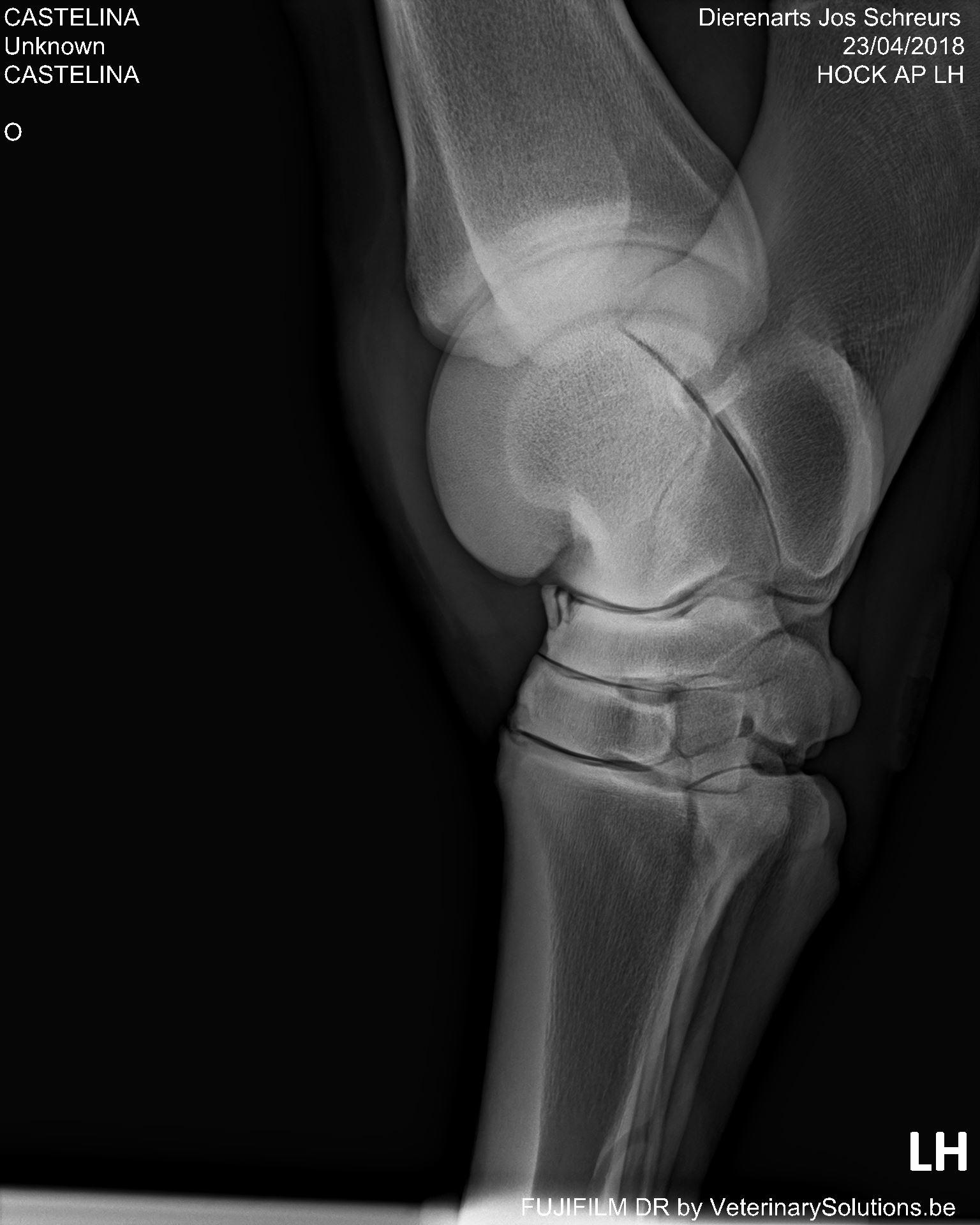 Fracture d'avulsion avant os tarsi central dans l'articulation du jarret du cheval