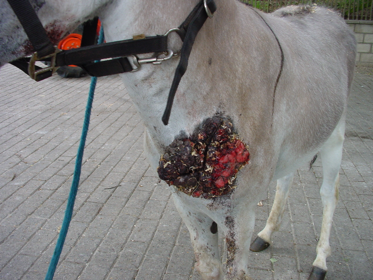 Les sarcoides chez les ânes et les mulets