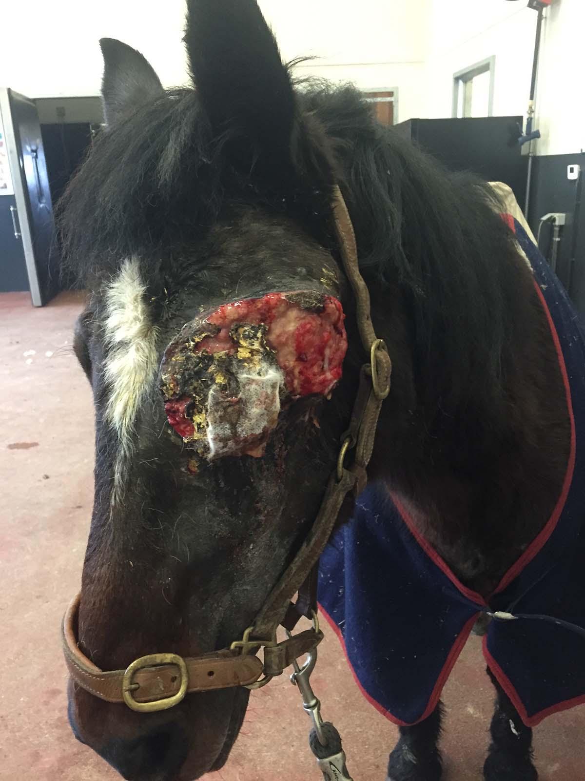 Le sarcoide à l'oeil du cheval