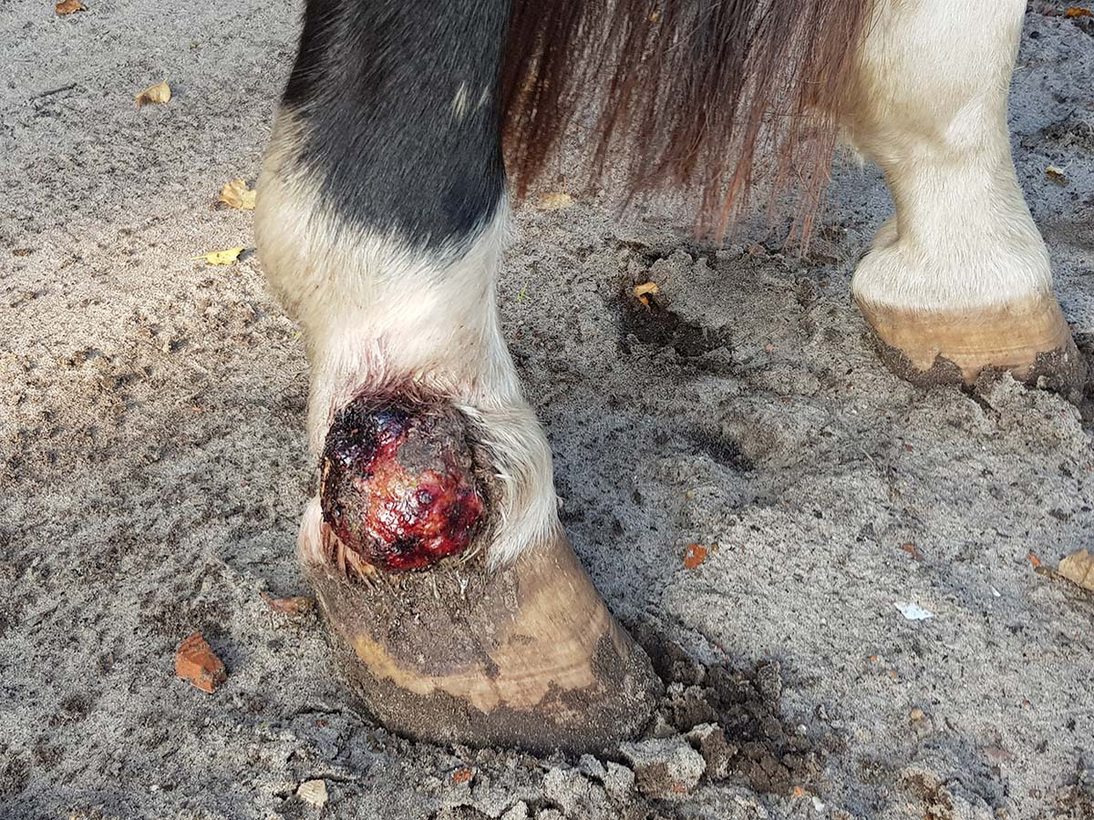 Le sarcoide chez le cheval