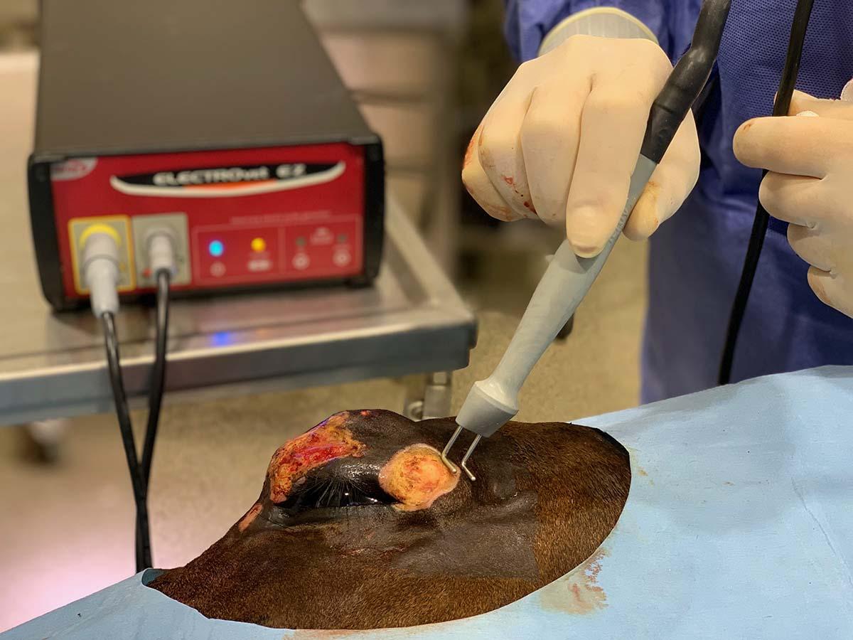 L'électro-chimiothérapie du sarcoide chez le cheval
