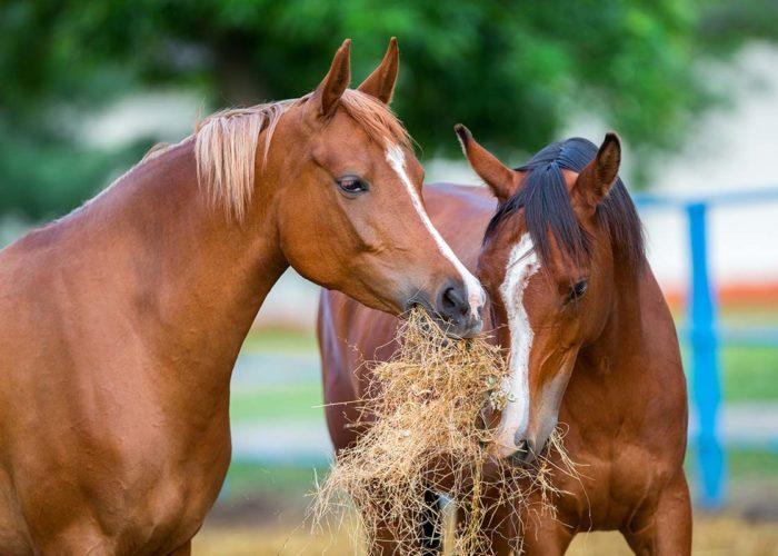 Le foin et la santé du cheval