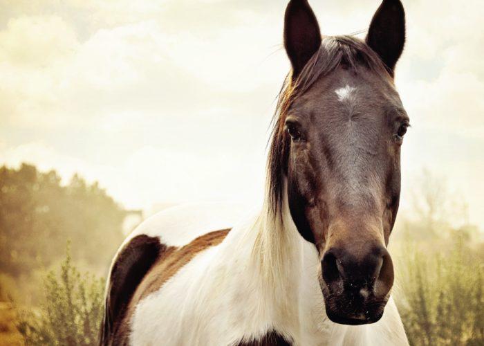 Cheval partenaire et les poches gutturales du cheval