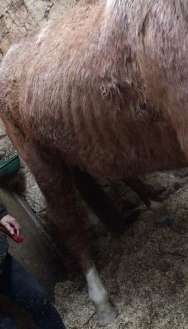Le cheval de 30 ans maigre