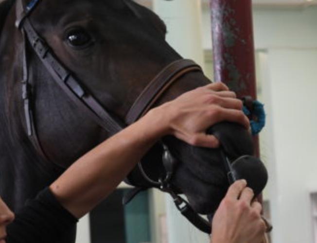Les ulcères du cheval