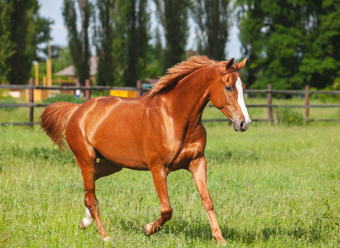 Russian Don light chestnut horse