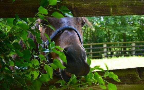 L'intoxication du cheval avec les plantes