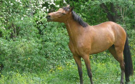 L'aloe Vera pour les chevaux