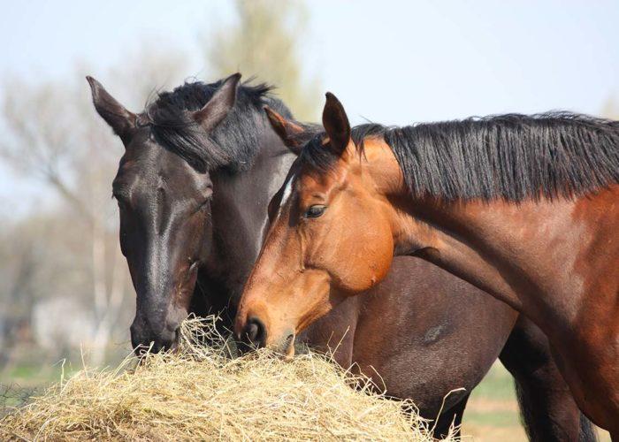 L'alimentation du cheval avec AJC NATURE